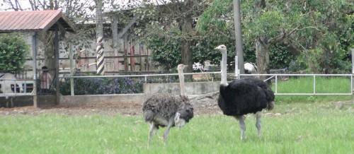 Ruisui Farm Ostriches Taiwan