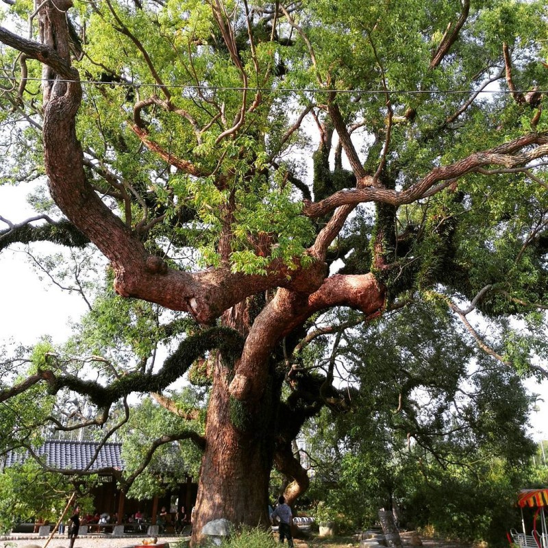 They say this tree in Nantou County is 1600 yearshellip