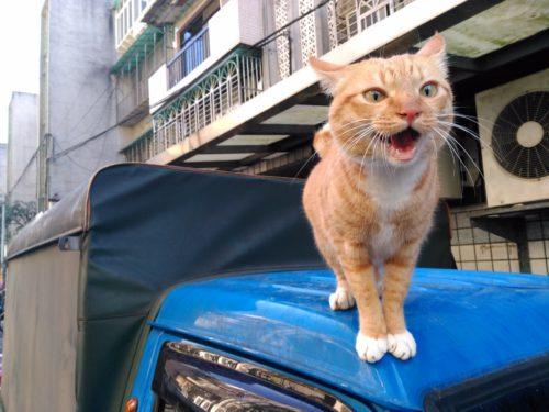 Cat in Taiwan